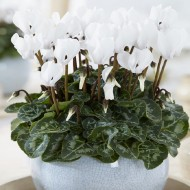 Snowy White Cyclamen Plant In Bud & Bloom