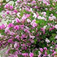 Cytisus Purpureus - Chamaecytisus purpureus - Purple Broom