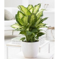 Dieffenbachia 'Compacta' - Foliage House Plant with White Display Pot