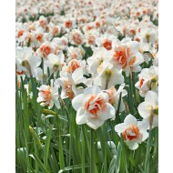 Narcissus - Daffodil Replete - Pack of 10 Double Ruffled Daffodils