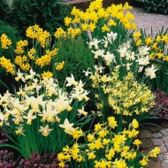 100 x Narcissus Dwarf Rockery Mixture - Daffodils