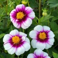 Dahlia Cupido - Single Flowering
