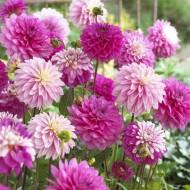 Dahlia Decorative Pink / Pink -White - Pack of THREE