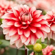 Dahlia Larry's Love - Pack of THREE