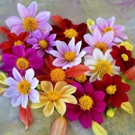 BEST VALUE - Dahlia Mixed Collection - Abundant Flowering - Pack of FIVE