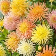 Dahlia Cactus - Star Surprise - Pack of THREE