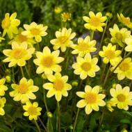 Dahlia Topmix Yellow