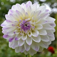 Dahlia Wittem - White Pearl