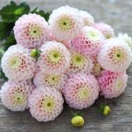 Dahlia Wizard of Oz - Armfuls of Pompom Blooms