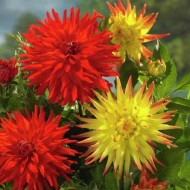 Dahlia Cactus Red / Red-Yellow - Pack of THREE
