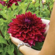 Dahlia Zorro - Giant Foot Wide Flowers