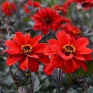 Bronze Leaved Dahlia Bishop of Llandaff - Pack of THREE Bare Root Plants
