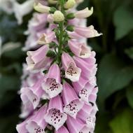 Digitalis purpurea Dalmation Rose - Foxgloves