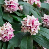 Daphne odora - Fragrant Hardy Evergreen Shrub