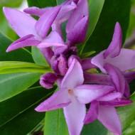 Daphne bholua 'Spring Beauty'