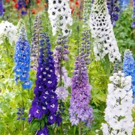 Delphinium Magical Collection - Pack of FOUR