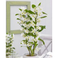 Dendrobium Nobilis - White Towering Nobile Orchid- Premium Quality with Classic White Display Pot