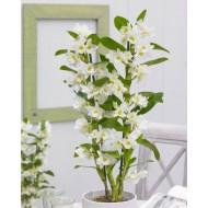 Noble White Towering Dendrobium Orchid - Premium Quality