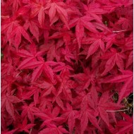 Acer palmatum Deshojo - Large Japanese Maple 100-150cm