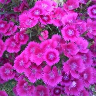 Dianthus plumarius Dixie Pink - Fragrant Pink