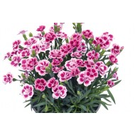 Dianthus Pink Kisses - Fragrant Pink
