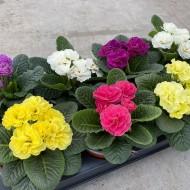 Primula acaulis Princess - Double Primroses in Assorted Colours