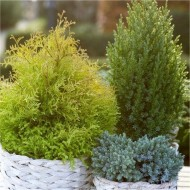 Dwarf Evergreen Slow Growing Patio Conifer Collection - Pack of THREE Plants