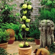 Apple - Malus Domestica Golden Delicious - Patio Pillar Fruit Tree