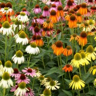 Breeders Mix Echinacea Plants - Pack of TEN