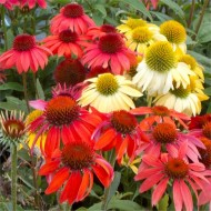 Echinacea Cheyenne Spirit - Coneflower Plants in Amazing Colours