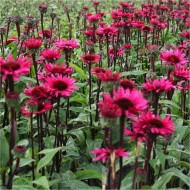 Echinacea Fatal Attraction - Black Stem Purple Cone Flower