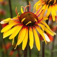 Echinacea purpurea Funky Yellow - NEW & EXCLUSIVE