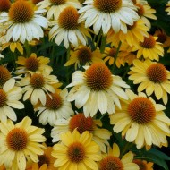 Echinacea Mooodz Shiny - Soft Yellow Cone Flower