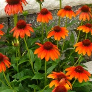 Echinacea sunacea Arches - Orange Cone Flower - Pack of THREE Plants