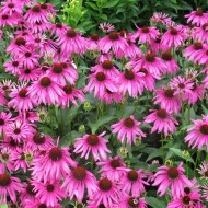 Echinacea purpurea Rubinstern - Purple Cone Flower Plants