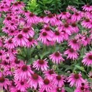 Echinacea purpurea Rubinstern - Purple Cone Flower Plants