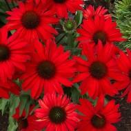 Echinacea Sombrero Salsa Red - Cone Flower
