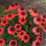 Echinacea purpurea 'Sundown' - Cone Flower