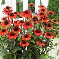 Echinacea SunSeekers In Tanz Orange - Orange Cone Flower