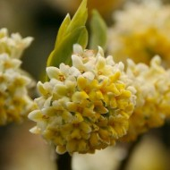 Edgeworthia chrysantha 'Nanjing Gold' - Paperbush - LARGE Heavy Specimen Plants