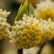 Edgeworthia chrysantha 'Nanjing Gold' - Paperbush