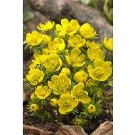 Eranthis cilicica - Winter Aconite - Pack of 20
