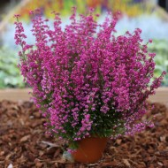 Erica carnea gracilis - Large Hot Pink Heather Plants in Bud