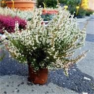 Erica gracilis alba - Large White Heather Plants in Bud