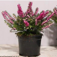 Deep Pink-Red Flowering Heather Plants - Erica - Pack of 15 Plants