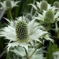 Eryngium giganteum - Miss Willmott's Ghost - Sea Holly