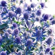 Eryngium planum - Eryingium - Blue Sea Holly