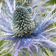 Eryngium Blue Distel - Pack of 5