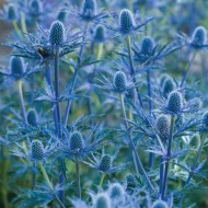 Eryngium zabelii 'Big Blue' - Sea Holly