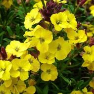 Erysimum Bowles Mauve Yellow